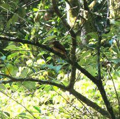 Foto maria-leque-do-sudeste (Onychorhynchus swainsoni) por Alete Meireles | Wiki Aves - A Enciclopédia das Aves do Brasil