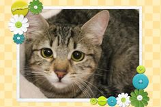 LENA is an adoptable Tabby (Brown) searching for a forever family near Monrovia, CA. Use Petfinder to find adoptable pets in your area.