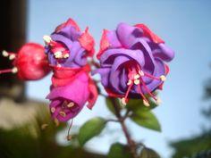Bela combinação, Vermelho e Lilás.  Guarapari - Espírito Santo