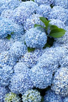 Brighten up your outdoor space this spring with colorful, flowering favorites from Arbor Day Foundation's online tree nursery. These blue hydrangeas will make the perfect spring addition to our outdoor landscaping or garden. #arborday #springgardening #springlandscape #springflowers #brightflowers #hydrangeas #bluehydrangeas #brighthydrangea #brightflowers #gardendesign #landscapedesign Spring Landscape, Landscape Design, Garden Design, Blue Hydrangea, Hydrangeas, Blue Spruce Tree, Arbor Day Foundation, Red Maple Tree, Privacy Trees