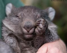 Max the baby wombat from Bonorong Wildlife Sanctuary