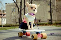 Chihuahua on longboard