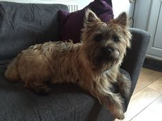 Image result for pictures of cairn terrier puppies
