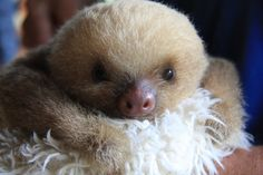 ♥PET♥ 80 TWO-TOED BABY SLOTH