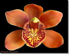 Orchid by Elisbeth Gaj.