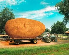 Who has the largest potatoes yet? ;-) #tractor #harvest #yield