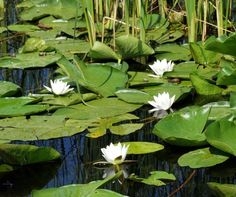 White water lily in the Danube Delta, Romania   5 Reasons Why Romania is the Country Every Traveler Needs to Visit