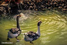 Geese at lake.