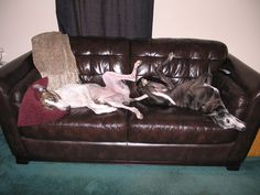 Harmony and Champ share a sofa. Champs, Sofa, Home Decor, Homemade Home Decor, Settee, Sofa Beds, Loveseats, Decoration Home, Couch