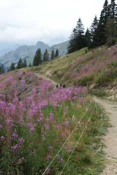 Mountain Flowers at Grubenberg, Berner Oberland, Switzerland.