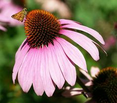 Echinacea for Cold and Flu Treatment