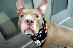LUCKY - A1089350 - - Manhattan  Please Share:TO BE DESTROYED 09/20/16: A volunteer writes: So quiet in his kennel, I couldn't resist his imploring eyes and of course those rabbit ears! His slightly graying muzzle added to his dignified good looks and that was that! Easily leashed, Lucky used the 'facilities' as soon as we were out the door and off we go. He's good on leash, likes to meet new people, enjoys treats, and is easy going and tail waggy. As