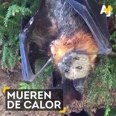 Los murciélagos muèrent de #calor / #calentamiento