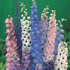 This is a guide to the top 10 easy perennial plants to grow from seed. Perhaps you are looking at packets of perennial flower seeds and are wondering which ones are the best and the easiest to grow. Hopefully something here will be of help. Perrenial Flowers, Delphinium Flowers, Delphiniums, Flowers Perennials, Lantana Flower, Perennials Fabric, Gladioli, Easy To Grow Flowers, Growing Flowers