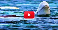 WATCH: 100 Beluga Whales Get Together! | The Rainforest Site Blog