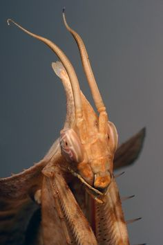 Idolomantis Diabolica // Giant Devil's Flower Mantis