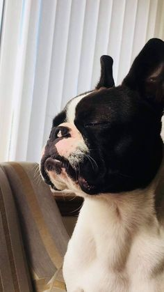 The Boston Terrier breed originated in Boston and is one of the few breeds that are native to the U. Terrier Breeds, Dog Breeds, Terrier Dogs, Boston Terrier Love, Boston Terriers, Baby Animals, Cute Animals, Maya, Dogs And Puppies