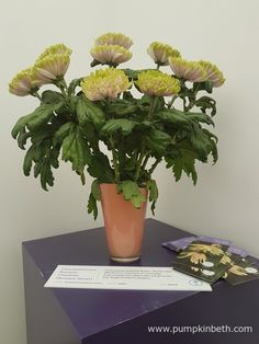 Chrysanthemum 'Rossano Charlotte' is a super cut flower, with a long vase life - lasting for six - seven weeks in a vase. Green Plants, Green Flowers, Cut Flowers, Green Leaves, Flowers For Valentines Day, Chelsea Flower Show, Different Flowers, Gerbera, Chrysanthemum
