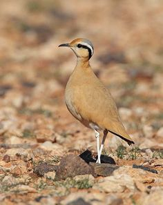 Cream-coloured Courser Cursorius cursor