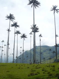Palma de Cera, Salento, Colombia