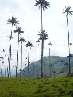 Wax palm - palma de cera colombia - Google Search