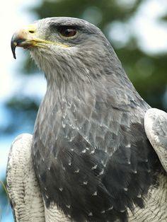 Chilean Blue Eagle - aka - Black-chested buzzard-eagle - (Geranoaetus melanoleucus)