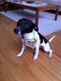 #backhund #dogcookies #jackrussell #jackrussellterrier