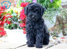 The Poodle Puppy Health Toy Puppies For Sale, Toy Poodle Puppies, Cute Puppies, Toy Poodles, Corgi Puppies, Poodle Haircut Styles, Smartest Dogs, Pet Dogs, Pets