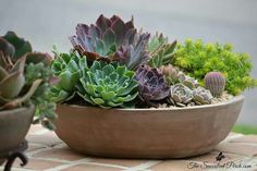 Purples and Blues of Echeveria 'Neon Breakers' Artificial Grass Rug, Succulents In Containers, Succulent Arrangements, Echeveria, Container Gardening, Cactus, Pots, Blues, Gardens