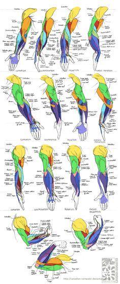 Anatomy - Human Arm Muscles by Canadian-Rainwater.deviantart.com on @deviantART