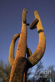 Giant Saguaro Cactus by Ron Sanford http://fineartamerica.com/featured/giant-saguaro-cactus-ron-sanford.html
