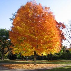 Sugar maple tree search ideas for 2019 Willow Tree Wedding, Willow Tree Figurines, Baumgarten, Shade Trees, Trendy Tree, Garden Trees, Tree Art, Tree Of Life, Green Leaves