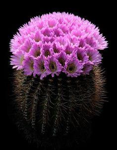 Acanthocalycium Spiniflorum - Fique a conhecer as nossas dicas de jardinagem em: www.asenhoradomonte.com