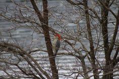 Red-bellied woodpecker (Melanerpes carolinus) inching up tree trunk [OC] [2048 x 1365] - http://ift.tt/2hoJw5Y