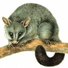 baby possum drawing - Google Search