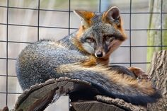 Image result for gray fox