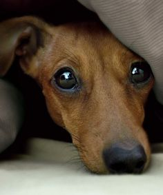 Dachshund - what a sweet face!