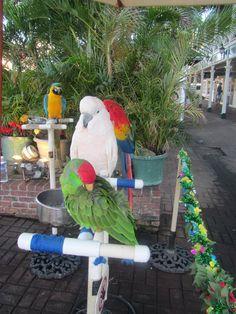 Lahaina, Maui - The Parrot Guy has many beautiful and very colorful parrots. Aloha Hawaii, Hawaii Vacation, Hawaii Travel, Hawaii Life, Lahaina Maui, Kauai, Lanai Island, West Maui, Colorful Parrots