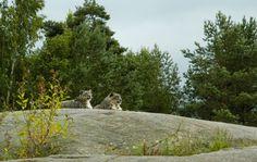 Snow leopard kolmården