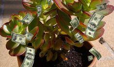 Planta banului sau Crassula Ovata, este o plantă originară din Africa de Sud, cu tulpină și crenguțe groase, înconjurate de frunze rotunde și cărnoase, asemeni unor mici bănuți.  Acestea sunt de culoarea jadului, iar în cazul unor specii, marginea frunzei devine roșiatică, dacă planta este expusă Feng Shui, Plants