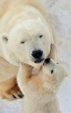 I love my mommy! Polar bear cub with its mother.
