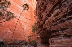 Western Australia, East Kimberley, Purnululu National Park (Bungle Bungles). Livistonia Palm & sandstone cliff in Piccanniny Creek Gorge.