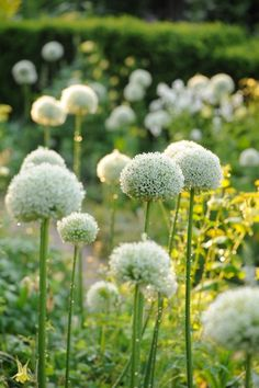 #Allium #alba I have these in my #garden    http://www.roanokemyhomesweethome.com