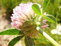 The 22 best purple clover images on pinterest clover flower purple clover mightylinksfo