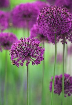 Allium hollandicum 'Purple Sensation' H 1m, Fl. June/July