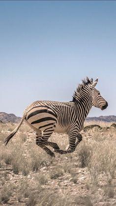 On Safari | Flying Zebra