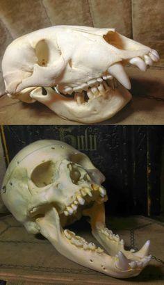 """Topota Web - Tan irreal que es mentira: Descubren cráneos de monstruos míticos como el """"mandíbula loca"""""""
