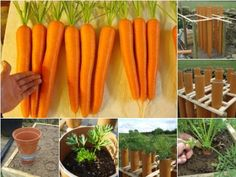 Excellent documentation of growing Carrots in a Tube.