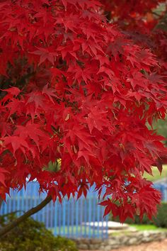 ~~Autumn Red ~ maple tree by Lorraine Deroon~~ Beautiful bright red color.