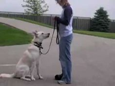 How to Use a Remote Collar Teddy's Story - https://www.lovemypet.club/how-to-use-a-remote-collar-teddys-story/